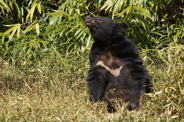 Japanese Black Bear at Yokohama Zoorasia 2014-03-15