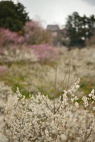 """A spectacle in """"Tsukigase bairin(plum-grove park)"""" No.1."""