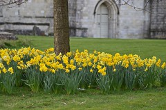 Daffs outside Winchester Cathedral