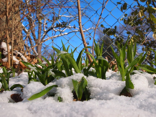 Snow sprouts