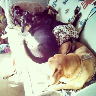 Got out of the shower to find 3 dogs sharing one #sunspot couch! #love #ilovemydogs #dogstagram #instadog #dobermanmix #coonhoundmix #houndmix #rescued #dogs #adoptdontshop #snuggles #morning
