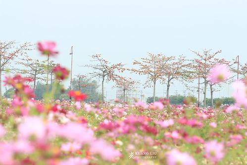 木棉花與波斯菊