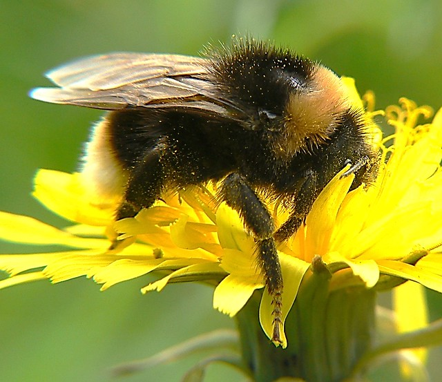 bumble bee2