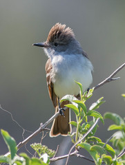 Ash-throated Flycatcher (Myiarchus cinerascens)