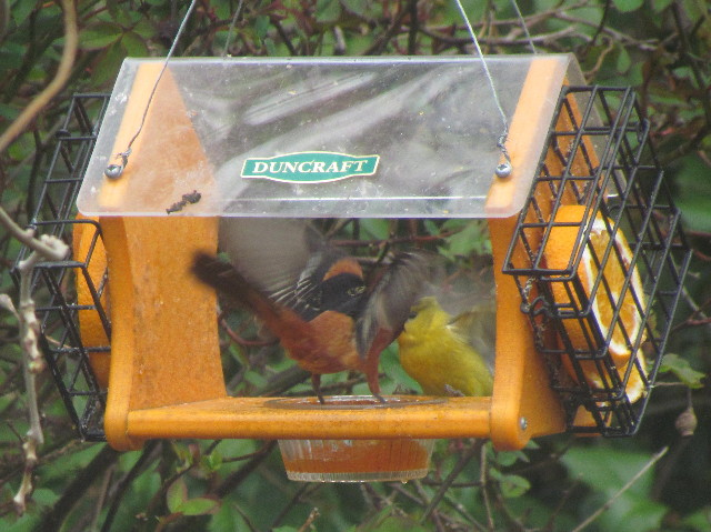 Orchard Orioles2 5:10:14