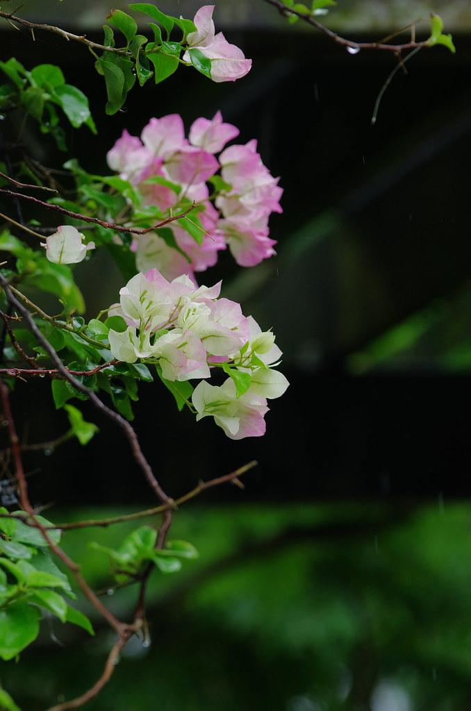 雨  蓮花