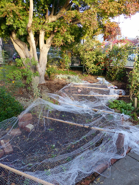 Netting over the recently planted out and sown section of the garden