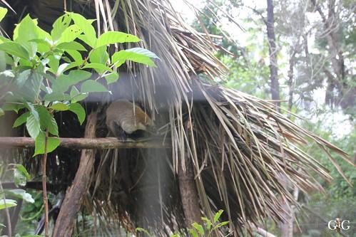 Zoo Karibikinsel Belize 19.11.2014 44