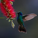 Green Violetear Hummingbird. Tim Melling.