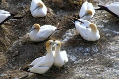animal, fauna, gannet, beak, bird, seabird, wildlife,