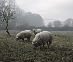 Smoked sheep