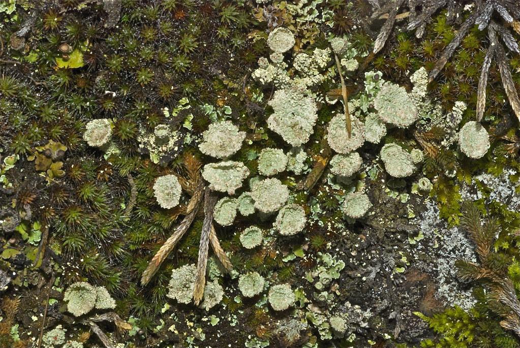 Pixie-cup Lichen (Cladonia pyxidata) ?