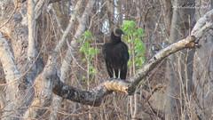 Black Vulture (Coragyps atratus) Playa Santa Cruz, Oaxaca