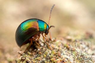 Darkling beetle (Amarygmus sp.) - DSC_2765