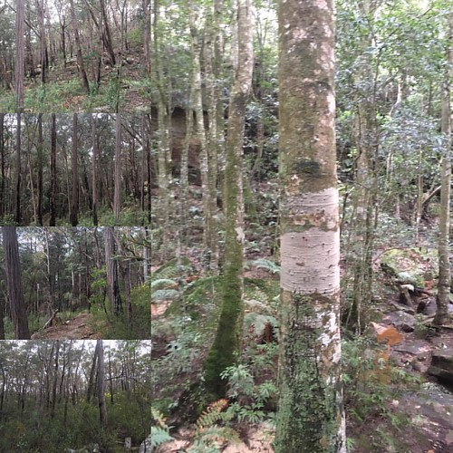 #trees #cavecreekwalk #exploring #forest #bushwalk #sydneysurrounds
