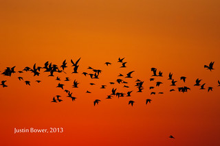 Flocks at Dawn, Bolivar Peninsula