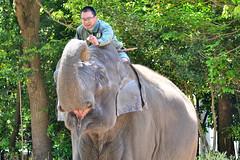 ズーラシアのインドゾウと飼育係のお兄さん (Indian Elephant)