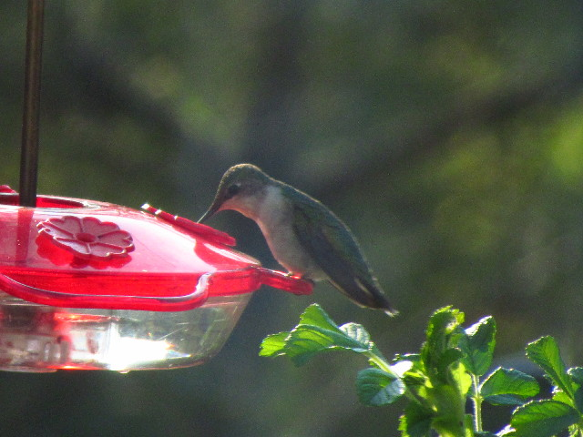 First Hummingbird female1 5:12:13