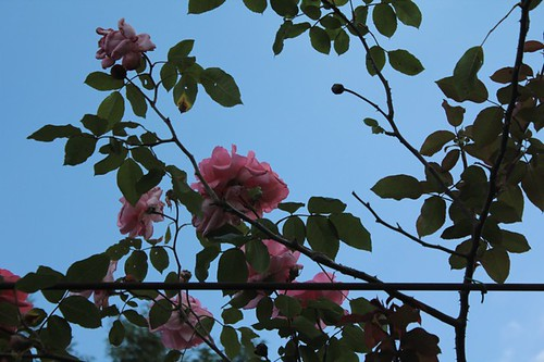 "Roseto comunale: ""rose rampicanti"""