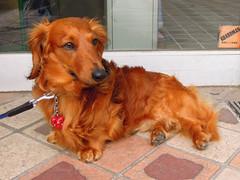 dog breed, animal, dog, pet, irish setter, setter, carnivoran,