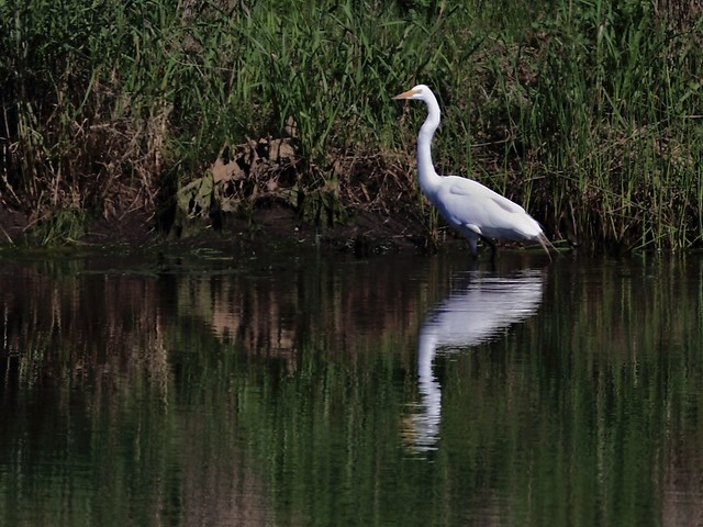 Great Egret 20130513