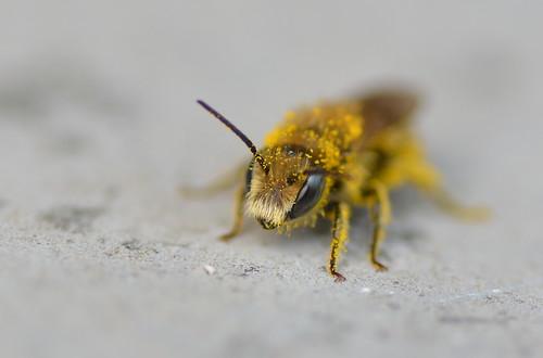 Male Osmia coerulescens (Blue mason bee) covered in pollen