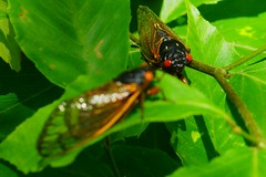 Two cicadas sunning (2013 Brood II, Magicicada septendecim, also called Pharaoh Cicada or the 17-year Locust)