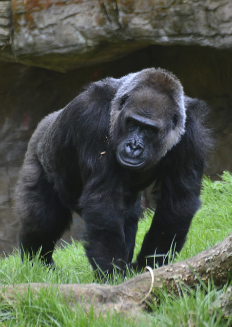 London Zoo, Gorillas from Flickr via Wylio