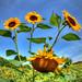 Rutledge Sunflower Farm by HamWithCam