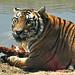 Siberian Tiger, Explored on July 21, 2013.