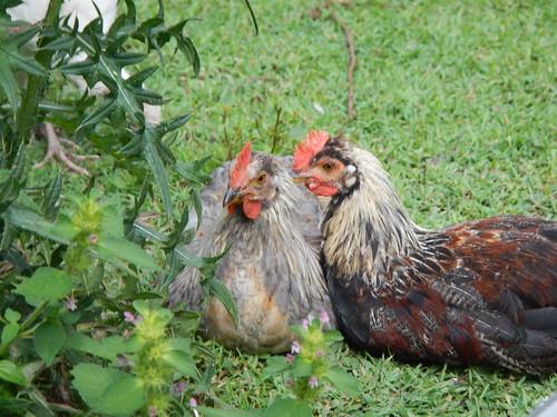 Cuddly cockerels