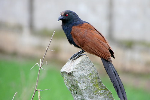 GreaterCoucal