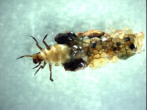 Image of Caddisfly