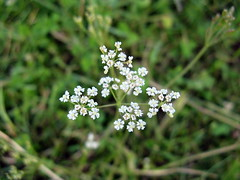 yarrow(0.0), english lavender(0.0), caraway(0.0), flower(1.0), grass(1.0), cow parsley(1.0), plant(1.0), nature(1.0), macro photography(1.0), herb(1.0), anthriscus(1.0), wildflower(1.0), flora(1.0), green(1.0),