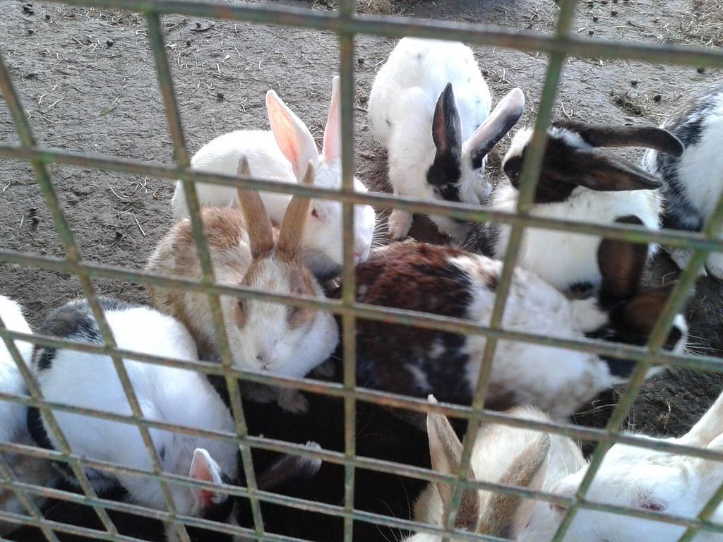 Rabbits near Bhulla Tal, Lansdowne