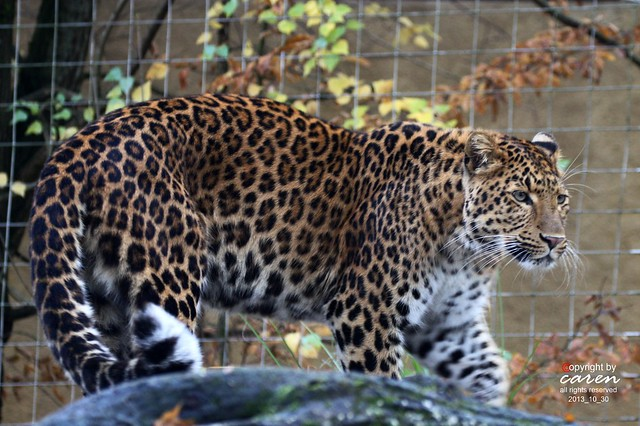 Chinesischer Leopard Julius 2013_10_30 052
