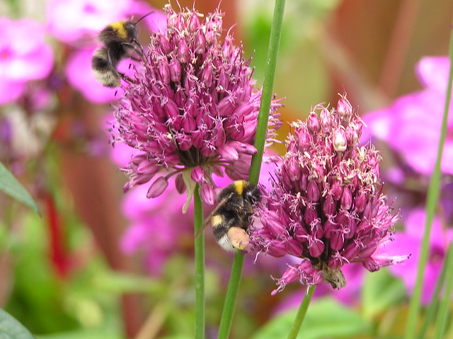 Bumblebees, Bombus lucorum