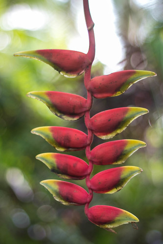 Heliconia in the garden