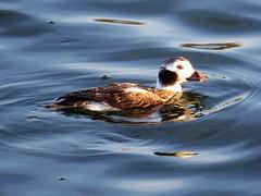 Long-tailed Duck, Ballona Creek Estuary 2-20-14