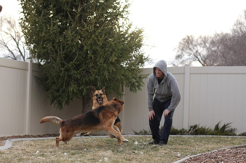 Playdate pics with our 3 and a GSD we might be adopting soon! 12870198215_c3c3285655_c
