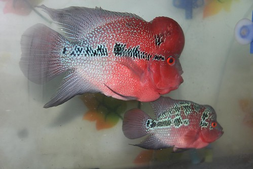 Marziyas Super Red Dragon Flower Horns  Breeding Pair by firoze shakir photographerno1