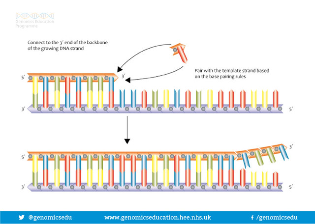 DNA Replication from 3 to 5 prime