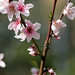 Subject: Peach Blossoms