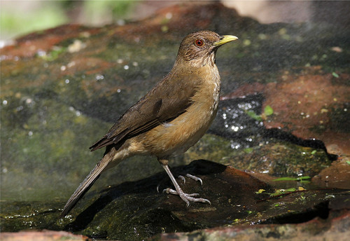 Turdus assimilis (White-throated Thrush)