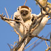 Verreaux's Sifaka (Paul Stanbury)