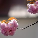 Kirschblüte in Leipzig Stötteritz