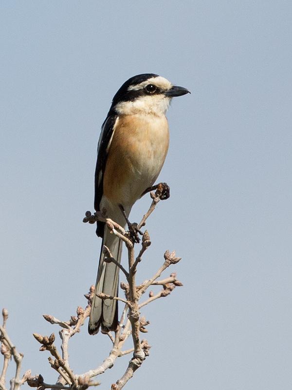 Masked Shrike 2014-05-02