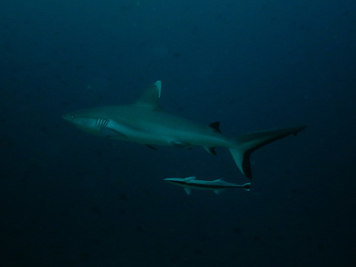 Tiburón gris y rémora (Maldivas)