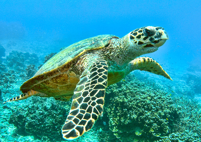 Turtle_Scuba_South Reef_Salang_Tioman Island.jpg
