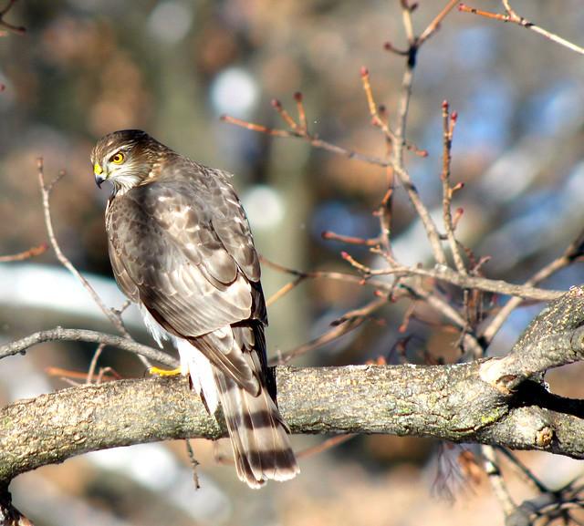 jilllian2 - Cooper's Hawk